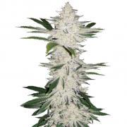 Chemdawg autofem Silver (Errors-Seeds)