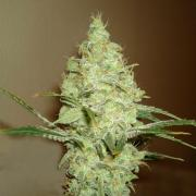 White Russian autofem Silver (Errors-Seeds)