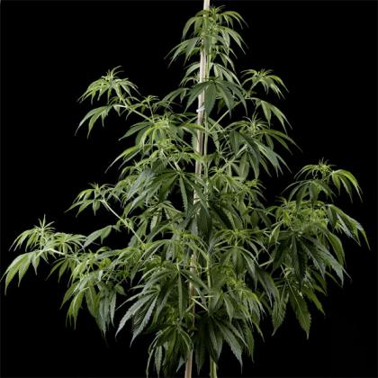 Arjan's Haze 1 fem (Green House Seed)