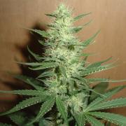 Big Bud fem (GSR)