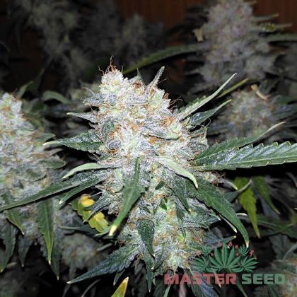 Big Bud autofem (Master-Seed)