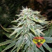 Big Bud autofem (Spanna Seeds)