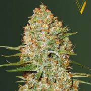 Amnesium autofem (Victory Seeds)