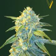 Northern Light autofem (Victory Seeds)