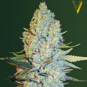 Amnesium fem (Victory Seeds)