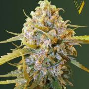 Biggest Bud fem (Victory Seeds)