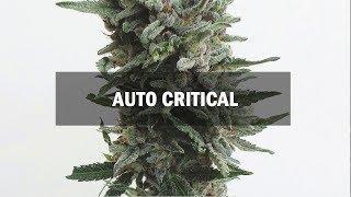 Critical autofem (Master-Seed)