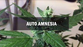 Amnesia autofem (Master-Seed)