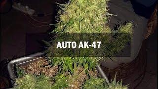 AK-47 autofem (Master-Seed)